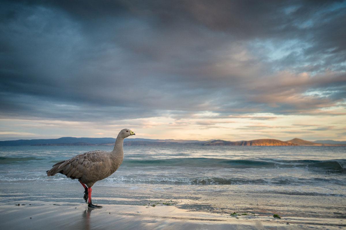 Cape Barren Goose in Tasmania