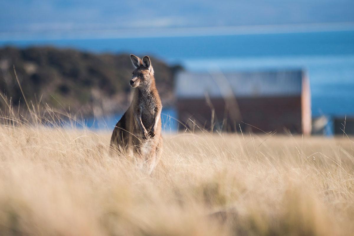 Discover unique Australian wildlife like the Eastern Grey Kangaroo on the Maria Island Walk in Tasmania.