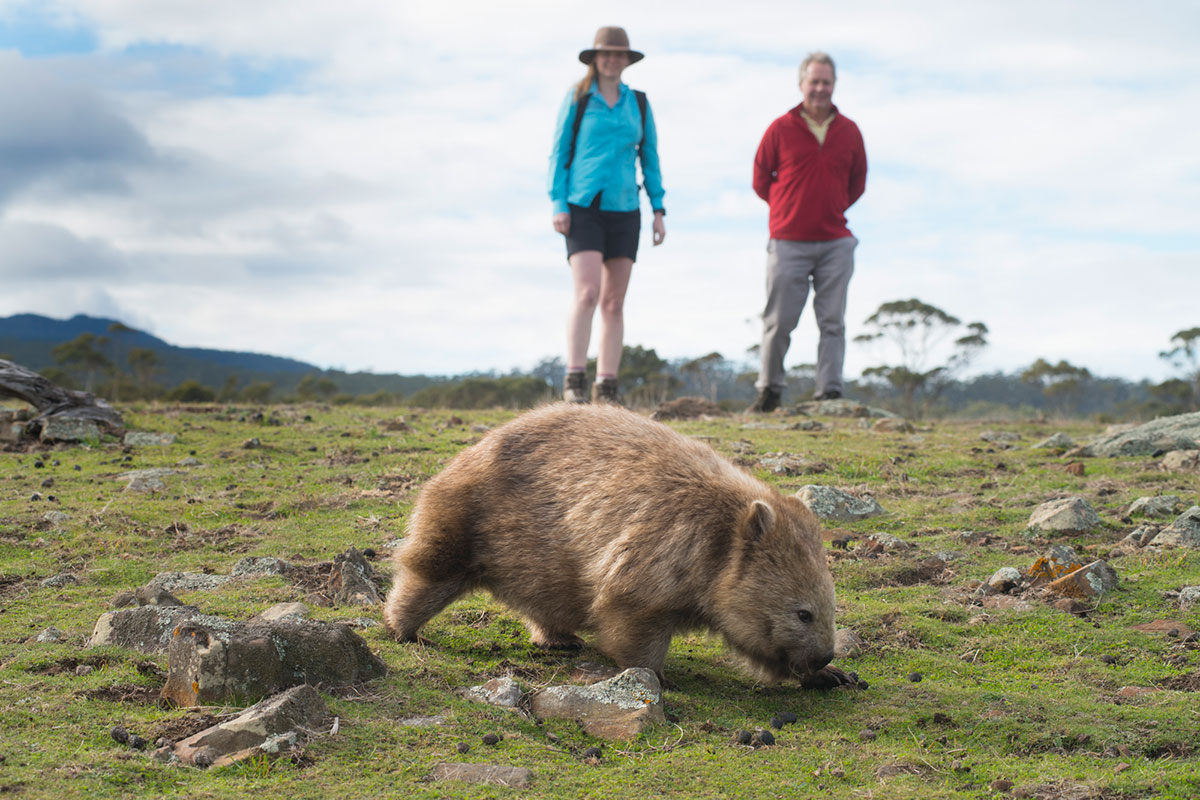 Encounter unique Australian wildlife like the wombat on the Maria Island Walk in Tasmania.